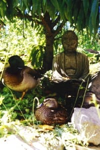 ducks contemplate with Buddah