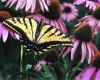Echinacea butterfly- 600dpi