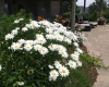 Hurley-patio with daisies)