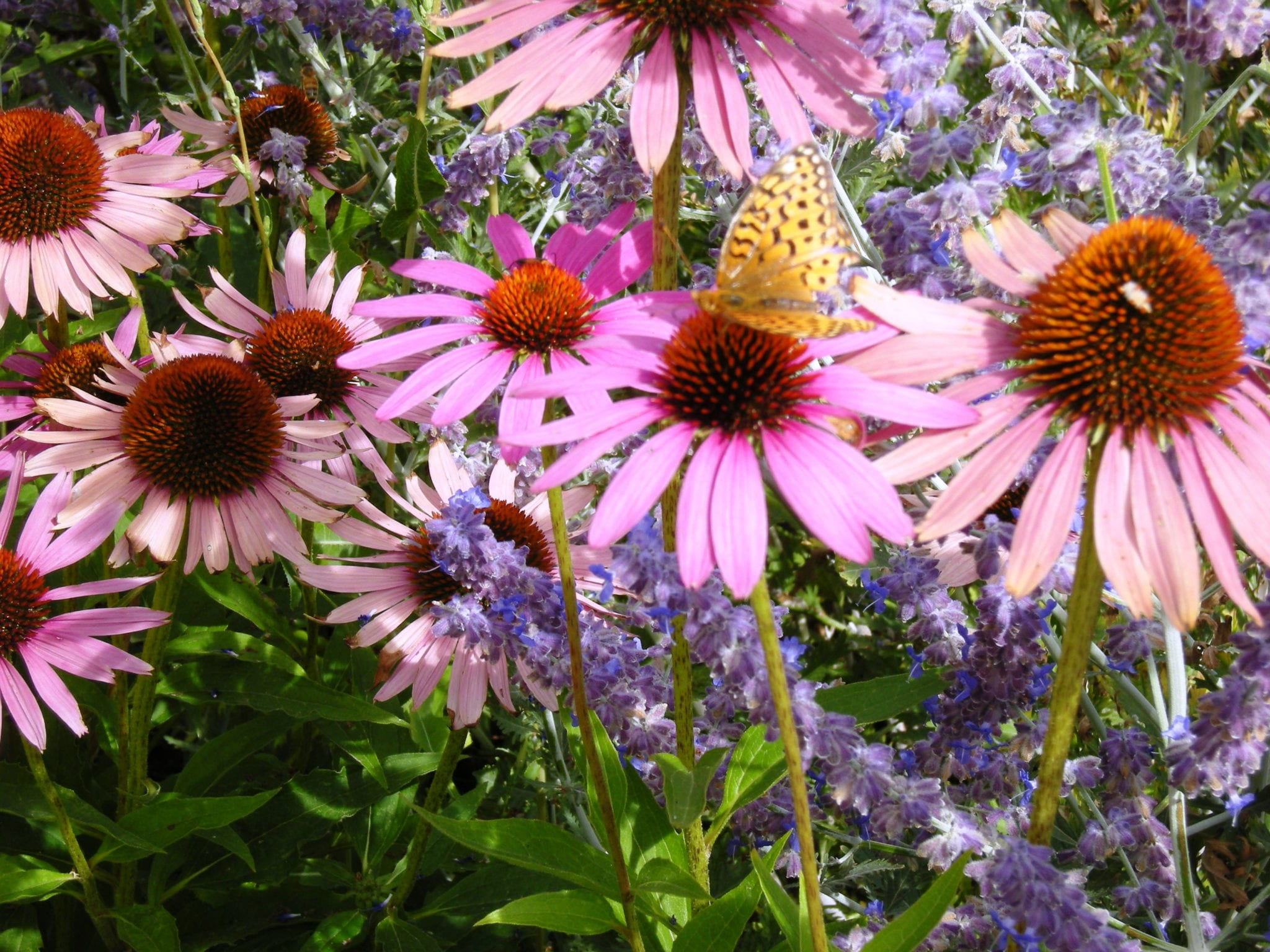 Waters -Butterfly and Echinacea