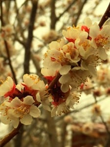 Apricot blossoms-Melvin2016
