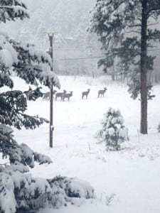 snowy elk scene photo