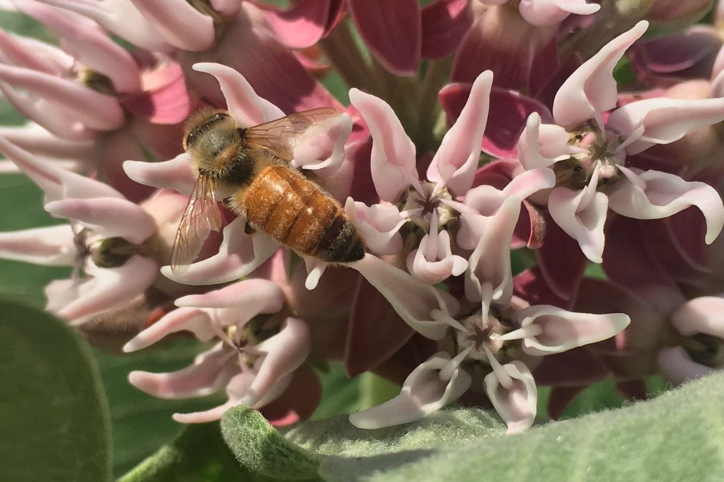Pink milkweed-bee-1440pix wide-BM-July2019