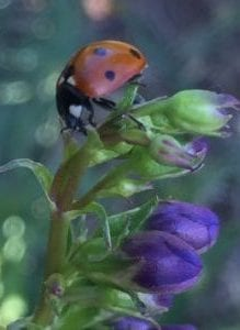 Ladybug on penstemon-square- July2017-kzJPG