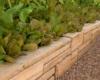 grow lettuce dry stack raised veggie bed